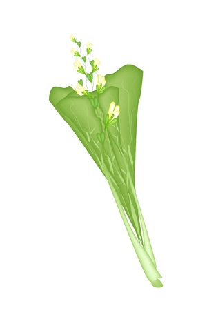 canola: Vegetable, Vector Illustration of Delicious Fresh Green Mustard Plant, Chinese Cabbage, Bok Choy, Pok Choi or Pak Choi with Yellow Flower..