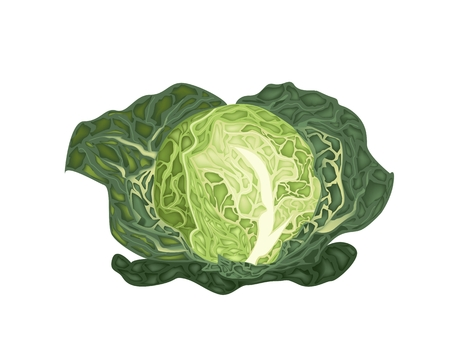 Vegetable, Vector Illustration of Delicious Fresh Green Savoy Cabbage Isolated on White Background.  Vector