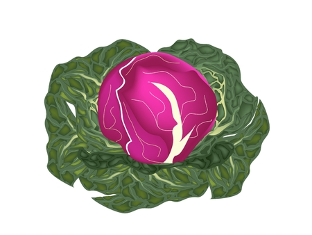 Vegetable, Vector Illustration of Delicious Fresh Purple Cabbage or Red Cabbage with Green Leaves Isolated on White Background.  Vector