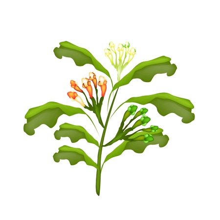 Vegetable and Herb, Vector Illustration of Clove Plant with Green, Yellow and Red Pods Isolated on White Background. Stock Vector - 26609229