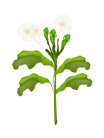Vegetable and Herb, Vector Illustration of Clove Plant with Green Pods and White Flowers Isolated on White Background.