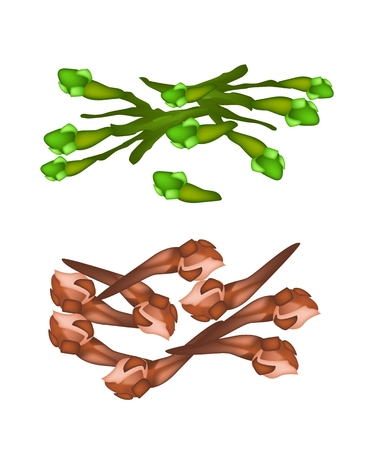 clove: Vegetable and Herb, Vector Illustration Stack of Fresh Clove and Dried Clove Used for Seasoning in Cooking.