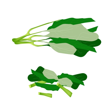Vegetable, Vector Illustration of Delicious Fresh Green Chinese Kale with Chopped Chinese Kale Isolated on White Background.  Vector