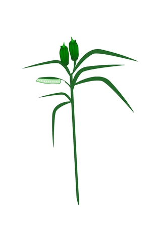 sesame: Vegetable and Herb, Vector Illustration of Pods and Leave on Sesame Plant Isolated on White Background.