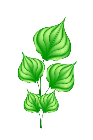 Vegetable and Herb, Vector Illustration of Betel, Wildbetal Leafbush or Piper Sarmentosum Roxb Herbal Food and Medicine.  Vector