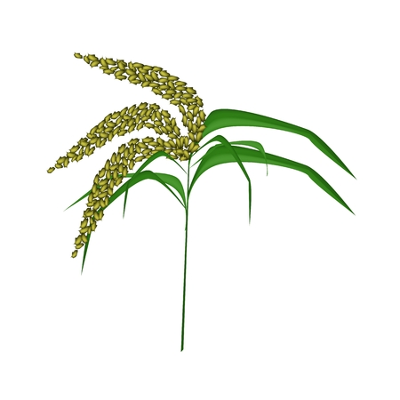 millet: Environmental Concept, Vector Illustration of Green Unripe Millet Heads or Sorghums with Green Leaves Isolated on White Background.  Illustration