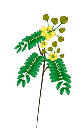 Vegetable and Herb, Vector Illustration of Cassod, Senna Siamea or Thai Copper Bunch with Leaves, Blossom and Pods Isolated on White Background.