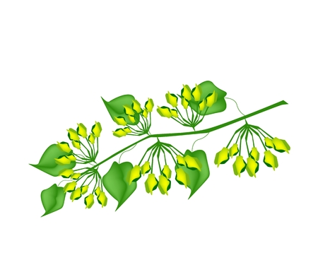 minor: Vegetable, Vector Illustration A Bunch of Delicious Fresh Green Cowslip Creeper or Telosma minor Craib Isolated on White Background.