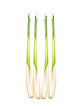 Vegetable and Herb, Vector Illustration of A Row of Fresh Lemon Grass for Seasoning in Cooking.  Vector