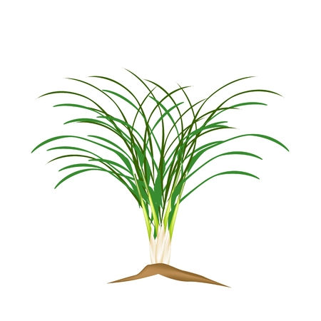 Vegetable and Herb, Vector Illustration of A Fresh Lemon Grass Plantation in Garden.