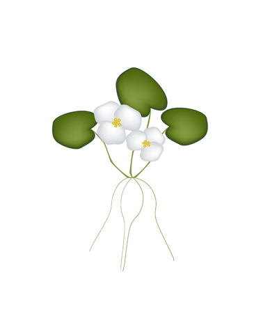 aquatic herb: Vegetable and Herb, Vector Illustration A Beautiful White Common Frogbit Plant with Leaves and Blossom Isolated on White Background.