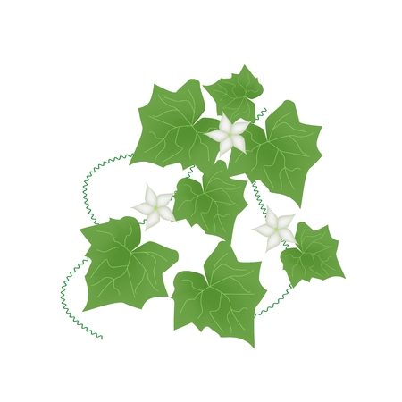 Vegetable and Herb, Vector Illustration of Coccinia Grandis or Ivy Gourd with White Blossoms Isolated on White Background.