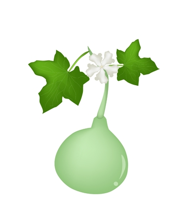 wu: Vegetable and Herb, Vector Illustration of Calabash Plant or Bottle Gourd Plant with Friuts and Blossoms Hanging on A Vine Isolated on White Background.