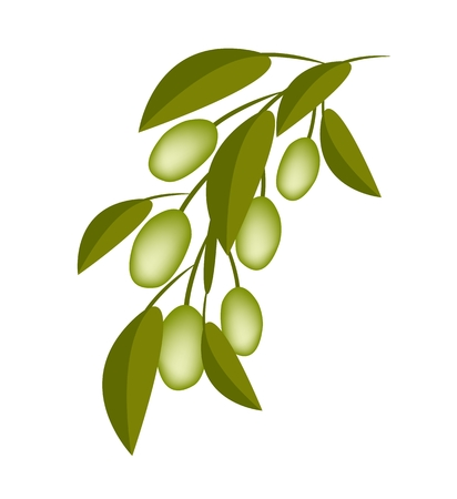 Vector Illustration of Delicious Green Olives and Leaves Hanging on Tree Branch Isolated on White Background.  Vector