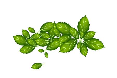 basil herb: Vegetales y hierbas, ilustraci�n vectorial Pila de Thai Sweet Basil Leaves utilizados para condimento en la cocina.