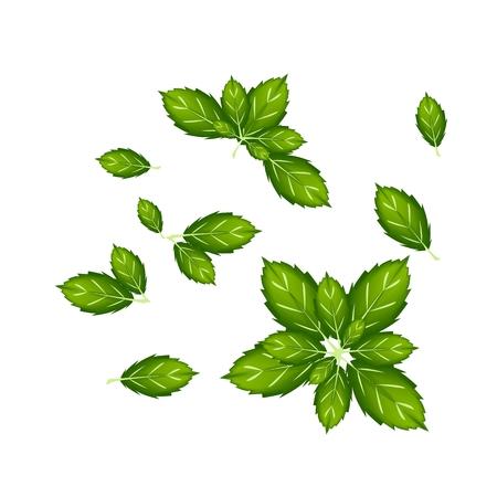 basil herb: Vegetales y hierbas, ilustraci�n vectorial Colecci�n de Thai Sweet Basil Leaves utilizados para condimento en la cocina. Vectores
