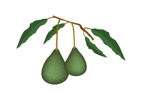 Vector Illustration of Delicious Fresh Green Avocado and Leaves Hanging on Tree Branch Isolated on White Background.  Vector