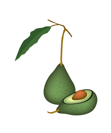 apple core: Vector Illustration of Delicious Fresh Green Avocado and Leaves with Half Avocado Isolated on White Background.
