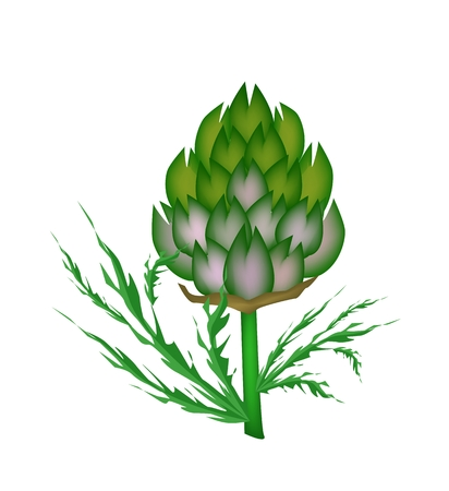 Vegetable, Vector Illustration of Delicious Fresh Artichoke Flower with Green Leaves Isolated on White Background.  Vector