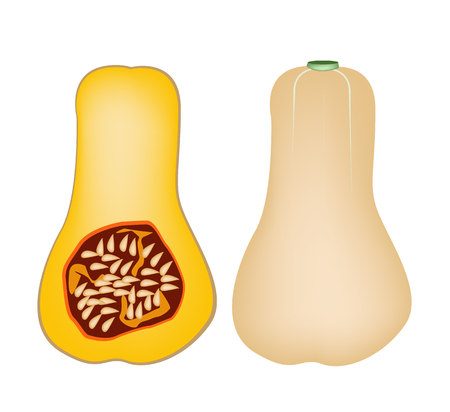 butternut squash: Fresh Butternut Pumpkin or Butternut Squash, Pumpkin Is One of Vitamin Nutrients to Improve Nutrient Intake and Health Benefits  Illustration