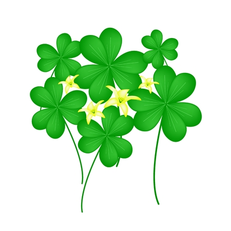 cloverleafes: Vegetable and Herb, Illustration of Growing Water Clover Plants or Shamrock with Leaves and Blossom Isolated on White Background
