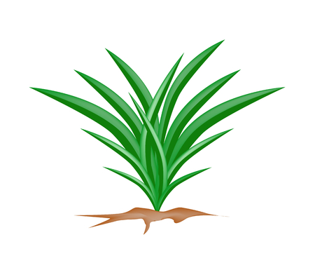 Vegetable and Herb, Vector Illustration Bunch of Fresh Green Pandan Plant Used in Southeast Asian Cooking as A Flavoring.