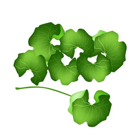 관절염과 주스를위한 야채와 허브, 벡터 일러스트 레이 션 신선한 녹색 약용 센 텔라 아시아 티카, 아시아 피막이, Thankuni 또는 고투 콜라 공장 허브 대