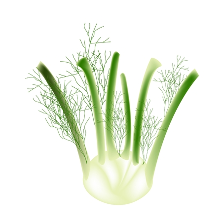 Vegetable, Vector Illustration of A Fresh Fennel Bulb with Stem and Leaves Isolated on White Background  Vector