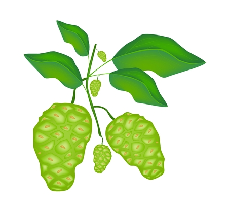 Vegetable and Herb, Vector Illustration of Fresh Noni, Morinda Citrifolia, Great Morinda, Indian Mulberry, Beach Mulberry or Cheese Fruit with Green Leaves on A Branch.  Vector