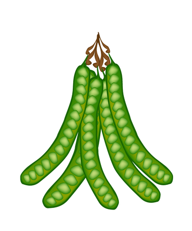 bitter: Vegetable and Herb, Vector Illustration Bunch of Sato, Parkia Speciosa, Bitter Bean, Twisted Cluster Bean or Stink Bean Isolated on White Background.