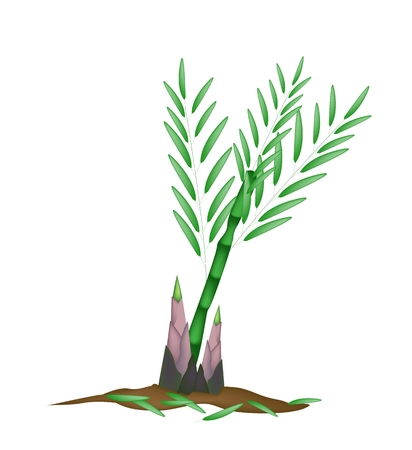 Vegetable, An Illustration of Delicious Fresh Bamboo Tree for Garden Decoration, Isolated on White Background.  Vector