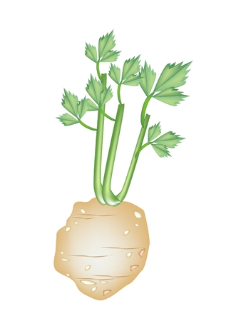 celery: Vegetable and Herb, An Illustration Root of Celery with Leaves Used for Seasoning in Cooking.