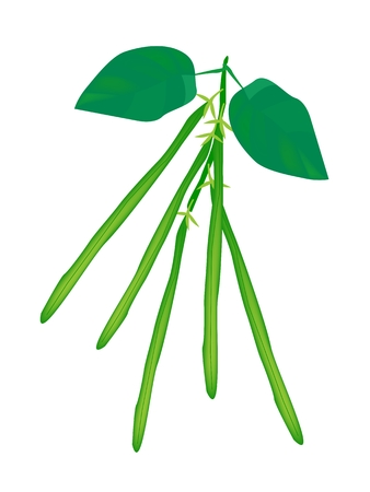 Vegetable, An Illustration of Fresh Green Beans or Phaseolus Vulgaris with Green Leaves on A Vine.  Vector