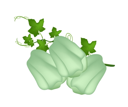 Vegetable, An Illustration  of Chayote or Sechium Edule Fruit with Plant and Leaves Isolated on White Background.  Illustration