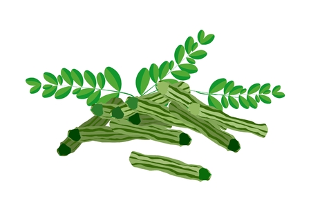 sajna: Vegetable and Herb, An Illustration of A Fresh Moringa Leaves and Fruit are Rich in Protein, Vitamin A, Vitamin B, Vitamin C and Minerals.