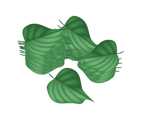Vegetable and Herb, An Illustration of Betel, Wildbetal Leafbush or Piper Sarmentosum Roxb Herbal Food and Medicine.  Illustration