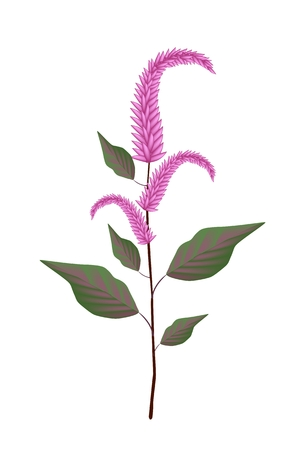 Vegetable and Herb, An Illustration of Fresh Amaranth or Amaranthus Cruentus Plant with Beautiful Purple Blossom Isolated on A White .