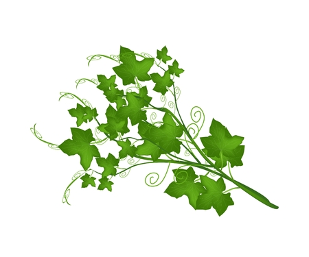 Vegetable, An Illustration Bunch of Chayote or Sechium Edule Plant with Leaves Isolated on White .  Illustration