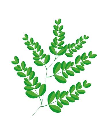 mlonge: Verdura e Herb, l'illustrazione di un fresche di Moringa foglie sono ricchi di proteine, vitamina A, vitamina B, vitamina C e minerali.