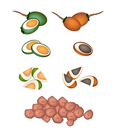An Illustration Collection of Whole, Half and Slice of  Betel Palm Nut or Areca Nut Isolated on White .  Vector
