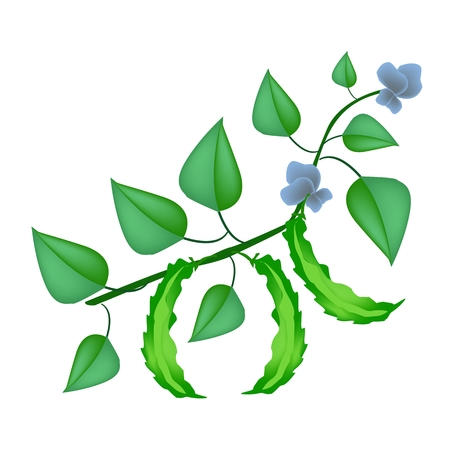common bean: Vegetable, An Illustration of Fresh Winged Bean, Goa Bean or Four Angled Bean with Green Leaves and Blossom on A Vine.  Illustration