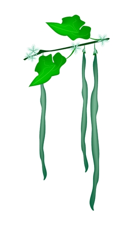 Vegetable, An Illustration of Fresh Green Snake Gourd or Trichosanthes Cucumerina with Green Leaves and Blossom Hanging on A Vine.  Vector