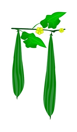 gourds: Vegetable and Herb, An Illustration of Angled Gourds or Sponge Gourds with Leaves and Blossoms Hanging on A Vine Isolated on White Background.