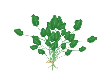 Vegetable and Herb, An Illustration Fresh Green Watercress or Nasturtium Officinale Plant Used as Healthy Foods and Herbal Medicines.  Vector