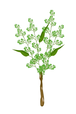 quinine: Vegetable and Herb, An Illustration of A Fresh Margosa or Neem Leaves and Blossom Used as Healthy Foods and Herbal Medicines.