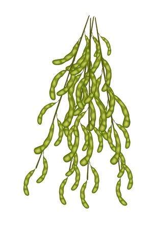 Vegetable and Fruit, An Illustration of Fresh Green Soybean or Edamame Pods on A Branch Isolated on White Background.  Vector