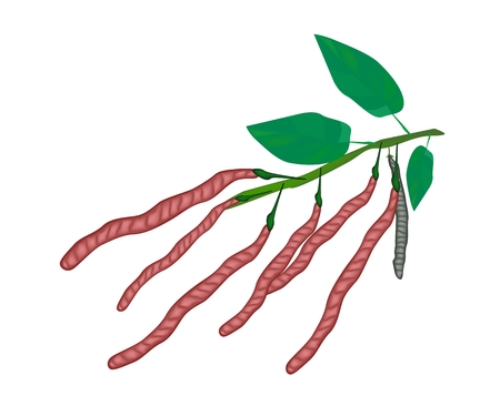 Fresh Red Kidney Pods with Green Leaves on A Tree, Used in Both Sweet and Savory Recipes.  Vector