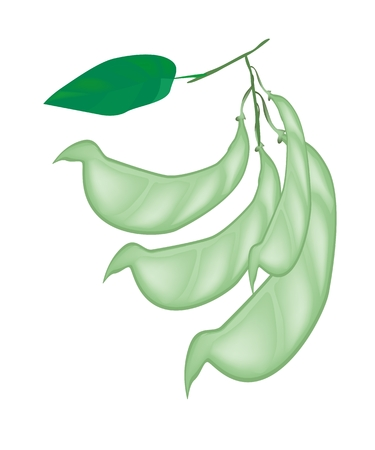 dolichos lablab: Vegetable and Herb, Vector Illustration of Pods with Leaves on Dolichos Lablab, Hyacinth Bean or Surti Papdi Plant Isolated on White Background.  Illustration