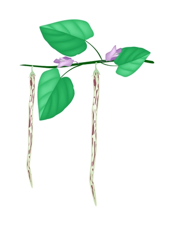Fresh Centrosema Pubescens Pods with Blossoms and Green Leaves on A Branch, Good Source of Dietary Fiber, Vitamins and Minerals.  Vector