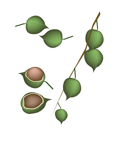 macadamia: Shelled and Unshelled Macadamia Nuts on A Tree, Good Source of Dietary Fiber, Vitamins and Minerals.